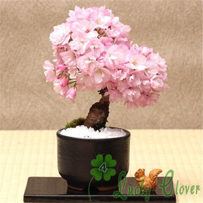 Wholesale 25 sakura bonsai Seeds Bonsai Tree Drought Tolerant Plant decoration
