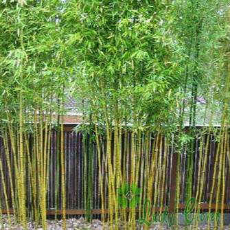 bamboo tree care - 50 Chinese Bamboo Seeds Bonsai Tree Need Almost easy care