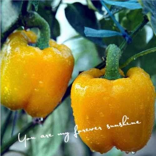 Wholesale 10 Sweet Pepper Seeds Yellow Strong Growth Vegetable Seeds Cheap Easy Backyard Garden