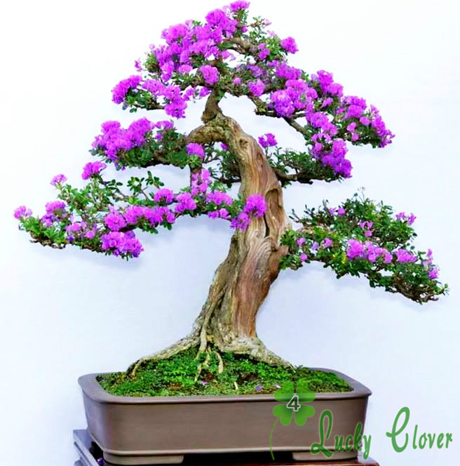 Wholesale 50 Purple Lilac Seeds Flower Syzygium Aromaticum Home Garden decoration plant free shiping