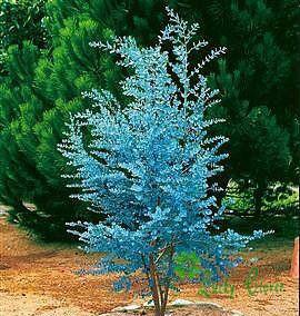Wholesale Rare Cider Gum Eucalyptus Seeds Bonsai Tree Decorate your backyard