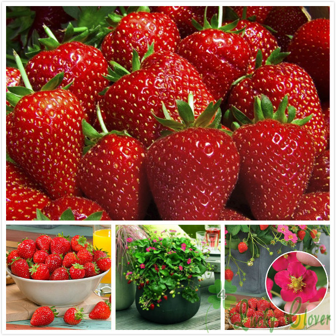 Wholesale Toscana Strawberry Seeds Juicy Delicious Fruit Tasty great