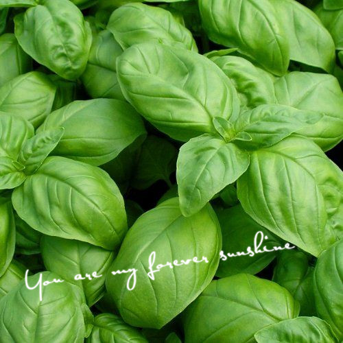 basil spices - 200 Large Leaf Basil Seeds Ocimum basilicum spices seeds Open pollinated Herb