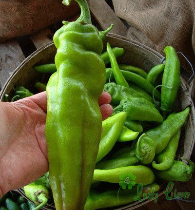 big jim - 10 Seeds Bag Big Jim Chile Pepper Seeds Rare Vegetable Fast growing Nutrient rich vegetables