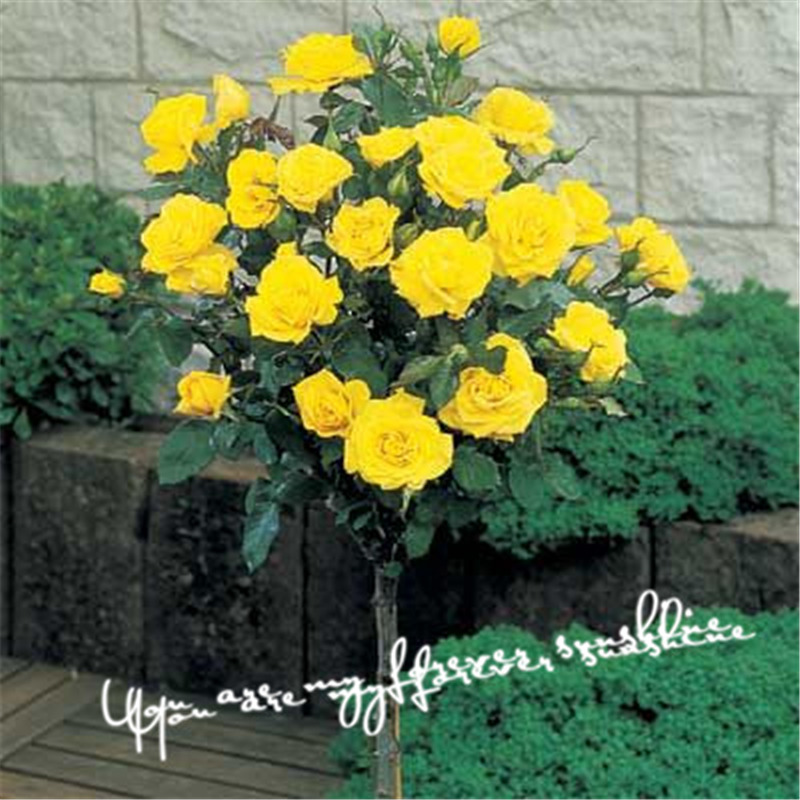 bee trees - Yellow Rose Tree Seeds Flower Favorites of Butterflies Useful Bees