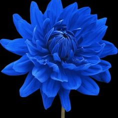 Wholesale 100 Blue Beard Dahlia Seeds Great for gardens borders cut flowers