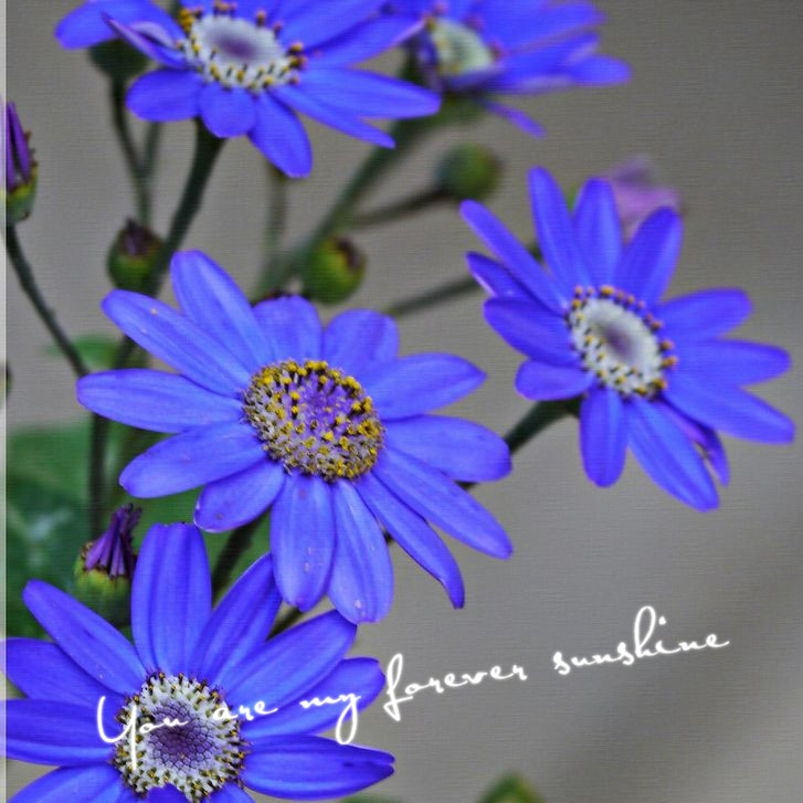 Wholesale Blue Daisy Seeds Flower Full of Bloom During the Season Garden