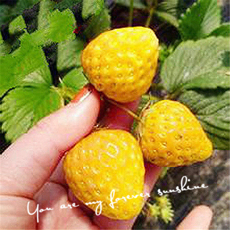 Cheap Heirloom 100 Yellow Strawberry Seeds Fruit Juicy Drought Tolerant Plant