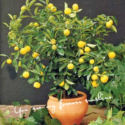 Cheap Non Hybrid 20 Dwarf Lemon Tree Seeds Bonsai Tree So-Easy Container Gardens Fruit