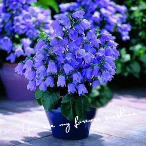 Wholesale 60 Campanula Seeds Purple High Quality Flower Seeds Love Of Family Home Garden