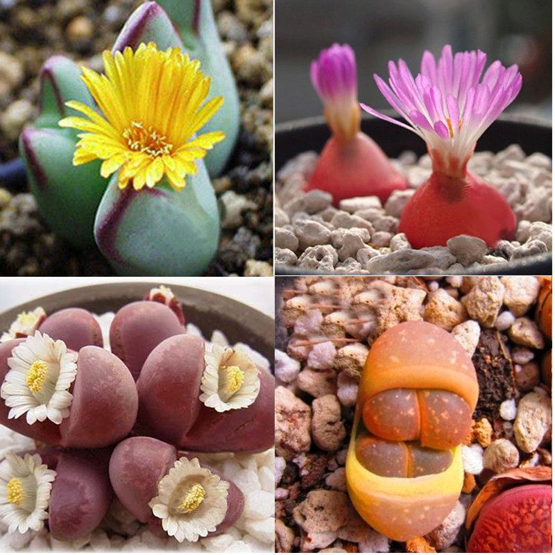 [عکس: new-24kinds-lithops-seeds-720-seeds-rare.jpg]
