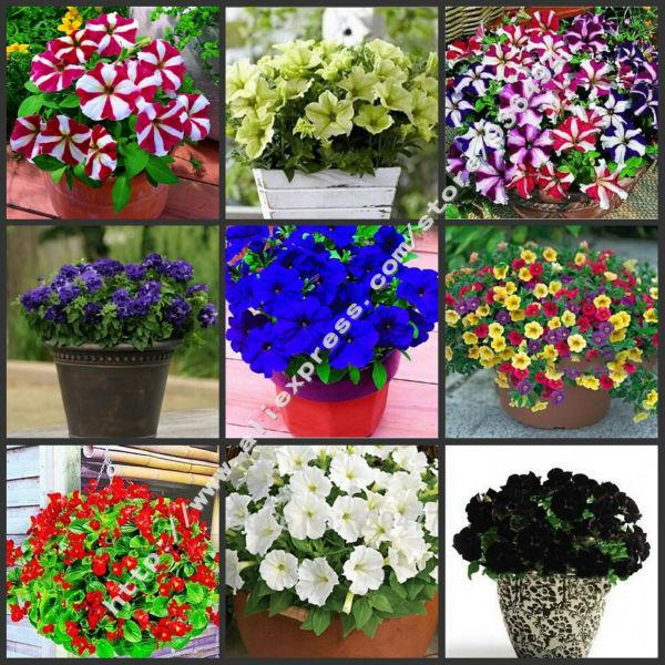 petunia seeds shuttlecock flower horn sweet potato flower bonsai petunia flowers seedspotted plant seeds seed online with 1091piece on store