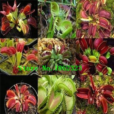 how to plant venus fly trap seeds