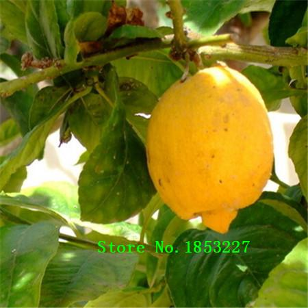 2017 bulk lemon seeds lime seeds 100 true seed 100 for Buy lemon seeds online