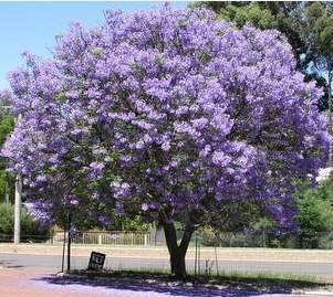 50 Paulownia Seeds Princess Tree Or Empress Tree