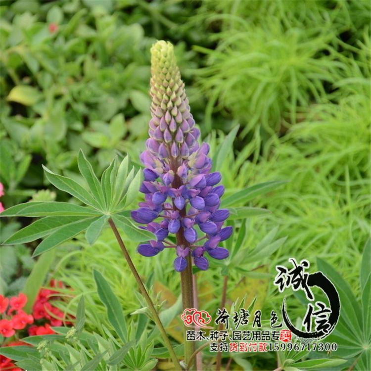 2017 Wholesale Quality Herbal Flower Seeds Lupine Seeds ...