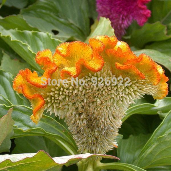 Семена цветок петушиный гребешок