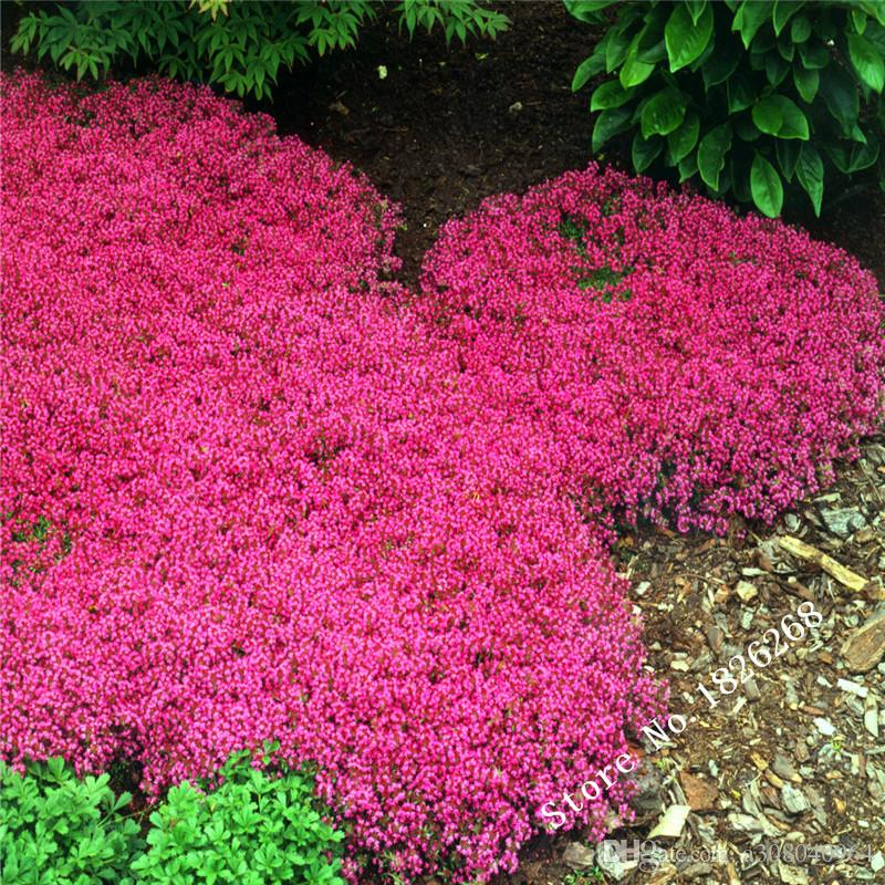 2016 Flower Seeds Creeping Thyme Seeds Or Blue Rock Cress