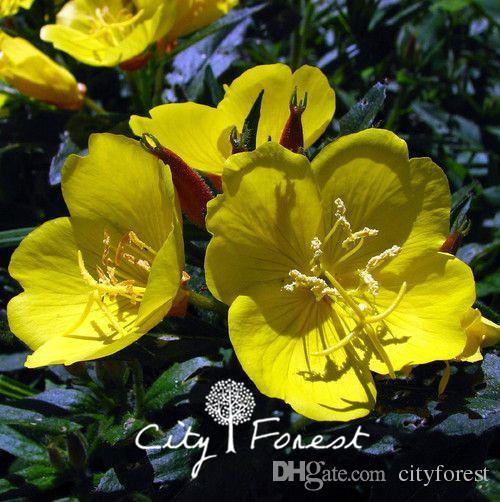 how to grow primrose flowers