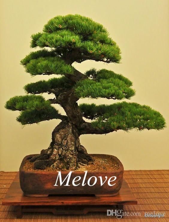 2017 50 Japanese Black Pine Seeds For Diy Home Garden ...