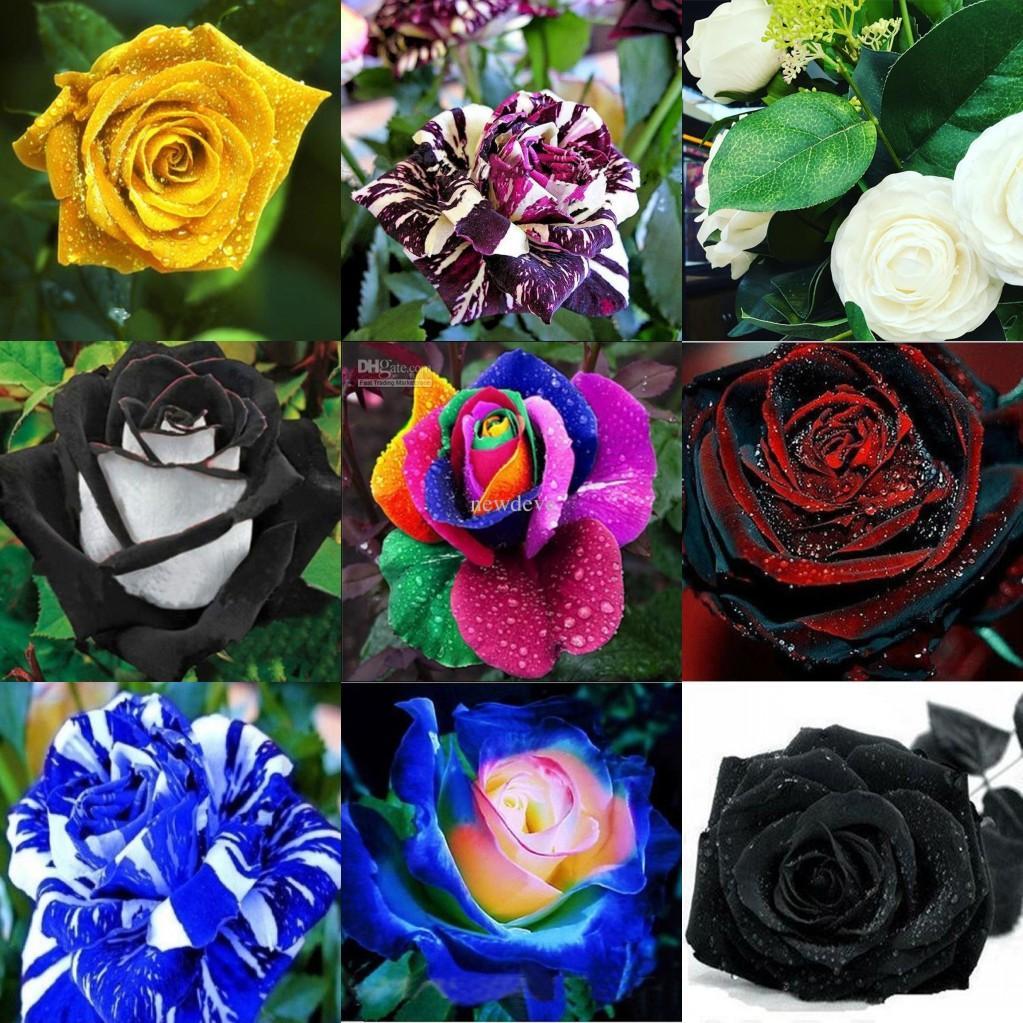wholesale lovely colors rose green rose flower seed 100. Black Bedroom Furniture Sets. Home Design Ideas