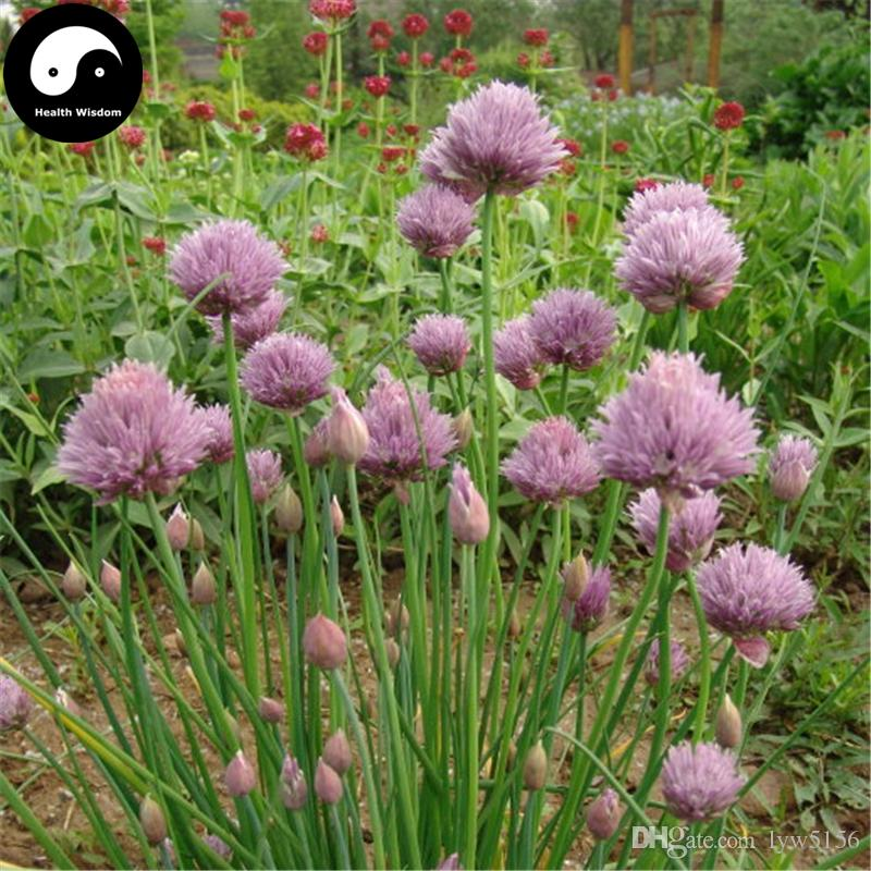 how to grow chives from seed in a pot
