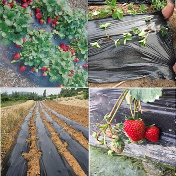 Landscape Plastic Thickness : Black agricultural film strawberry pe garden