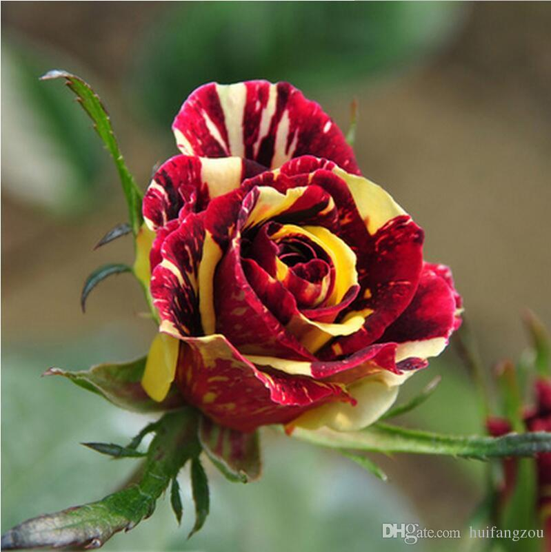 Hot whole sale rainbow rose seeds for gardening cheap rose for Growing rainbow roses from seeds
