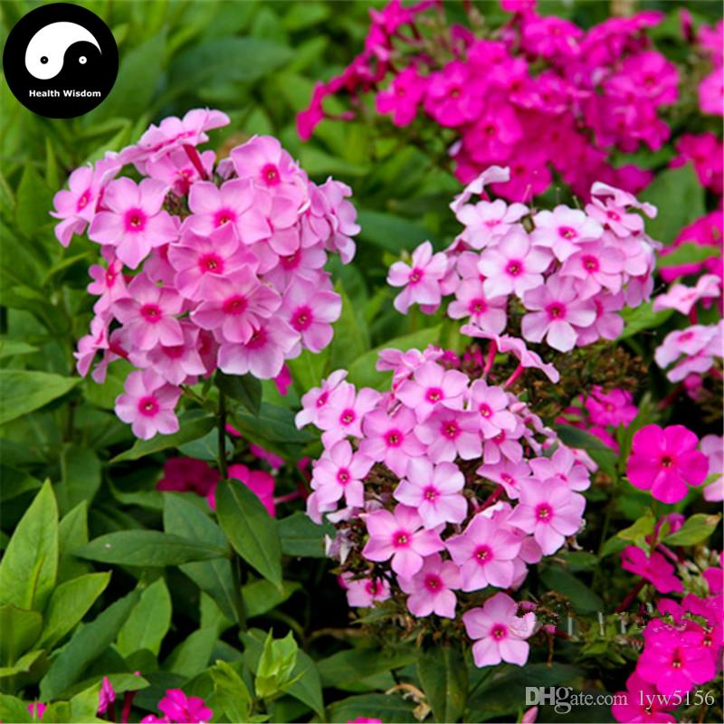 2018 buy phlox drummondii flower seeds plant phlox garden grow fulukao flowers bonsai from. Black Bedroom Furniture Sets. Home Design Ideas