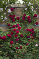 2015 Free- Shipping Colourful Rainbow Rose Seeds Purple Red B...
