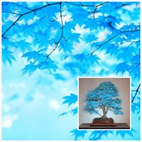 20 Bonsai Blue Maple Tree Seeds Bonsai Tree Seeds. Rare Sky ...