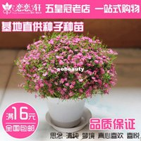 Wholesale Starry flower seeds spring sowing season perennial species easy to plant flower seeds potted balcony