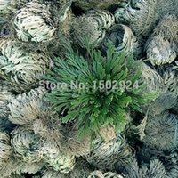 Wholesale 5pcs New Cute Resurrection Plant Rose of Jericho Dinosaur Air Fern Spike Moss Live
