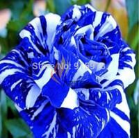 Wholesale Flower seeds seeds BLUE STRIPE ROSE RARE ROSE ROSE BUSH BLUE WHITE DRAGON