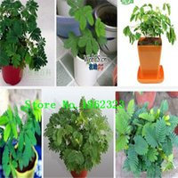 albizia herb - 200 pieces bonsai Albizia Flower seeds called Mimosa Seeds ilk Tree seeds for flower potted plants grass seeds