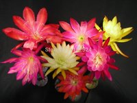 Wholesale Epiphyllum Orchid Cactus Hybrid quot SWEET BABY quot Succulent Plant Seeds