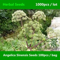 Cheap Novel Plant Angelica Sinensis Seeds 1000pcs, Traditional Chinese Medicine Dong Quai Herbal Seeds, Perennial Female Ginseng Seeds
