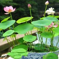 Мешок шара RU-(Seed) чаша лотоса - семенные / сад, внутренний дворик, газон и сад, овощи, цветы, фрукты - семена / мешок дома сад