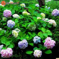 hortensia comn semillas balcn planta en maceta cultivo de la planta de la maceta hydrangea semillas