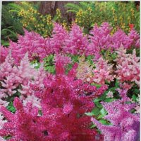 astilbe flower - Seeds Pack Mix Astilbe Chinensis Pumila Flowers Perennial Plants Home Decor