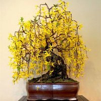aromatic plants - Forsythia Seeds Aromatic plant forsythia flower Herb Need Almost No Care