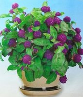 Wholesale purple gomphrena globosa high temperature resistance long flowering period bag For Bonsai Dry Flower