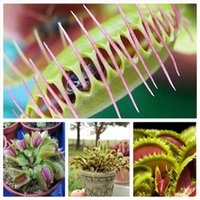 Wholesale 1 Original Pack approx Seeds Pack Venus Flytrap Premium Dionaea Muscipula Dioneia Plant Seed SM01