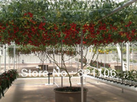 tomato seed - 50 ITALIAN TREE TOMATO Seeds Trip L Crop Seeds Comb S H