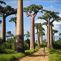 baobab tree seeds - Garden Plant Genuine pieces of high quality rare baobab seeds tropical plant tree seeds Home Garden Bonsai S