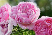 3000pcs комплект Сильный Ароматный Розовый Дэвид Остин Английский Кустарник Цветущий Розовый Цветочный Семенной Дом Сад Diy Разумная цена выбора и хорошее качество