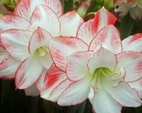 amaryllis bulbs - 10pcs a true love small amaryllis flower bulb style with japanese pine tree seed as gift