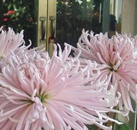 australian lighting - 3000pcs a light pink color Australian Strawflower seed price is for