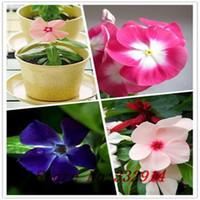 bank seed - Periwinkle seeds Mix Color Vinca Catharanthus roseus a perfect bank cover behind your house evergreen