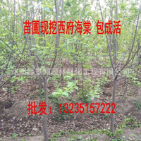Wholesale Direct green seedlings crabapple crabapple seedlings of Malus spectabilis seedlings selling cm